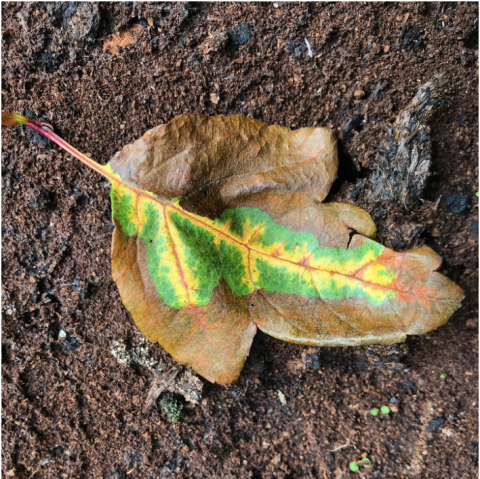 An autumn leaf, brown at the edges, bright green and yellow at its heart